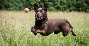 kelpie-fetch-ball