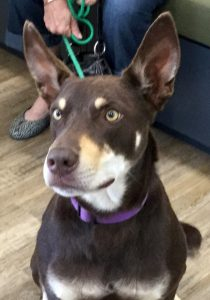 Kelpie Dog with Grand Mal Seizures - Treatment