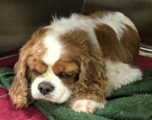 Penni Mclaren - Cavalier with seizures - vet treatment