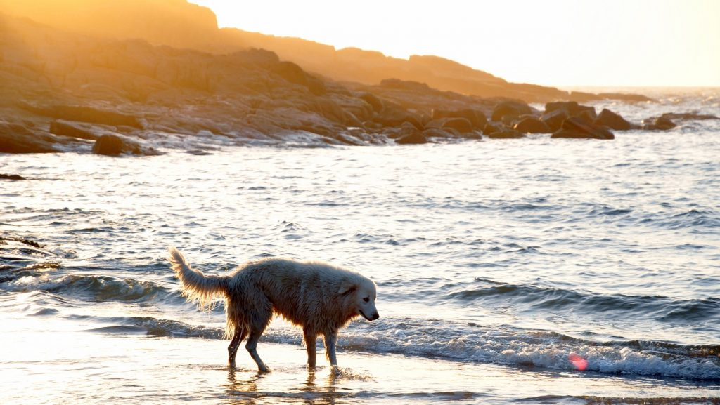 Chiropratic Care for Dogs Sunshine Coast