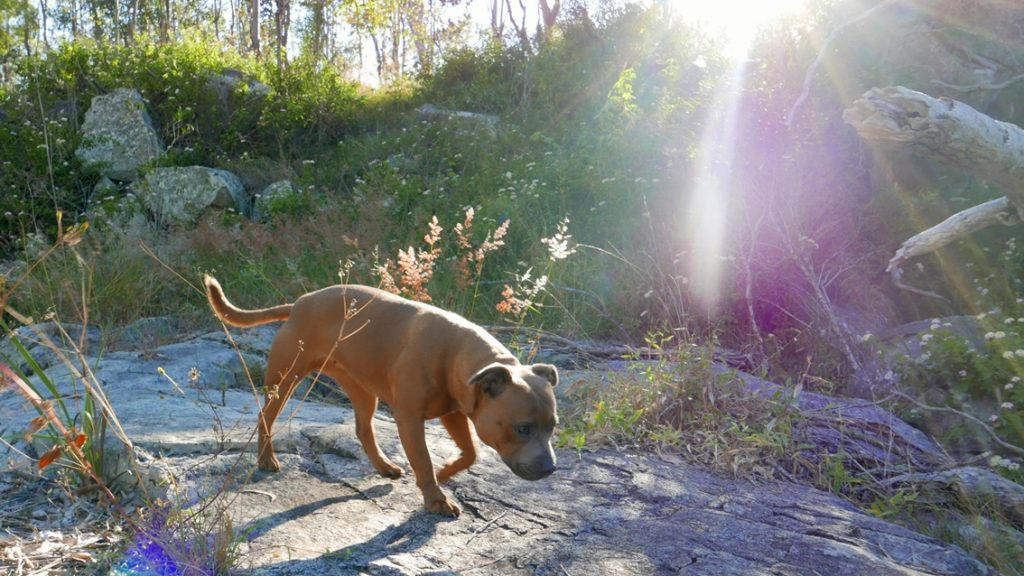 Dog Sniff & Explore - Fawn Staffie in the bush