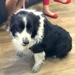 Border Collie with cancerous benign tumours vet treatment