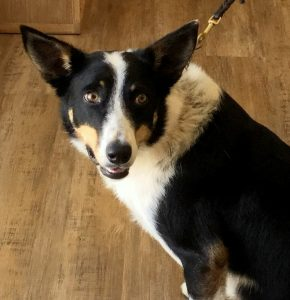 Border Collie X Holistic Vet Sunshine Coast