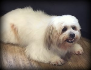 Snowie the Lhasa Apsos Sunshine Coast Vet