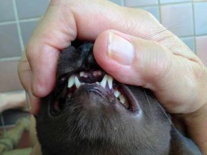 Cat Dental Vet Procedure Sunshine Coast Broken Tooth