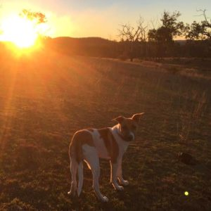 Itchy Skin Dog Daisey - After Sunset