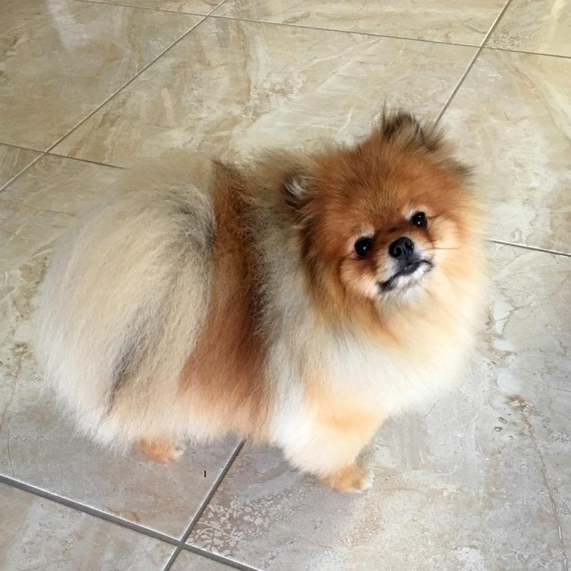 Ninja after 1 - Alopecia Pomeranian hair loss