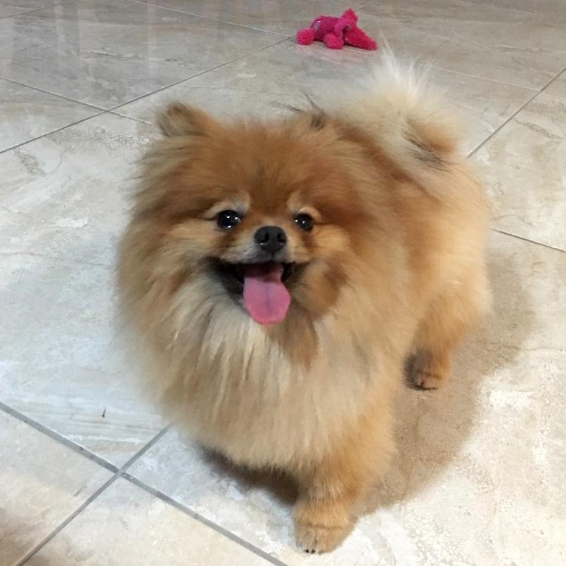 Ninja after 2 - Alopecia Pomeranian hair loss
